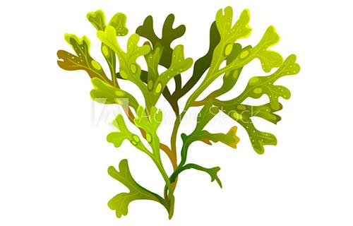 alga-fucus-vesiculosus